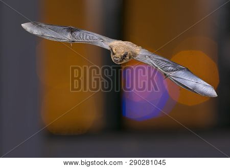 Flying Pipistrelle Bat (pipistrellus Pipistrellus) Animal Hunting On Colorful Background Of Window I