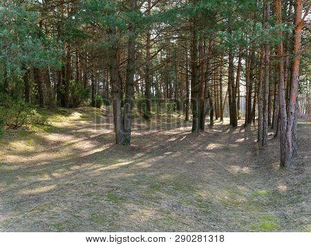 Dark Dense Pine Forest. Tree Trunks And Shrubs