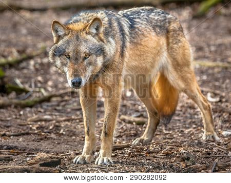 Big Bad Wolf (canis Lupus Lupus) Is The Most Specialised Member Of The Genus Canis, Its More Gregari