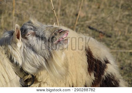The goat lifts his lip and sniffs pheromones. goat sexual behavior during mating. poster