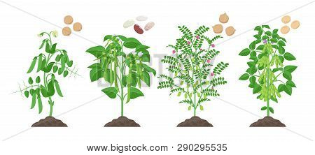 Legumes Plants With Ripe Fruits Growing From Soil Isolated On White Background. Pea, Common Bean, Ch