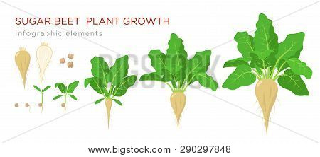 Sugar Beet Plant Growth Stages Infographic Elements. Growing Process Of Sugar Beet From Seeds, Sprou