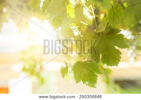 Green Grapevine Leaves Background In Sunny Day