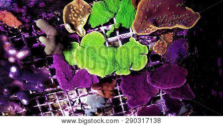 Montipora Capricornis Sps Coral In Reef Aquarium Tank