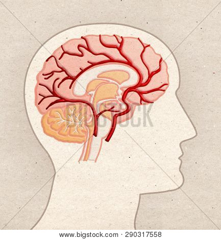 Human Anatomy drawing - Profile Head with BRAIN Arteries