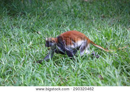monkey running on green grass in forest, Red Colobus, Zanzibar
