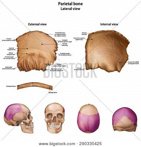 Parietal Bone. With The Name And Description Of All Sites.
