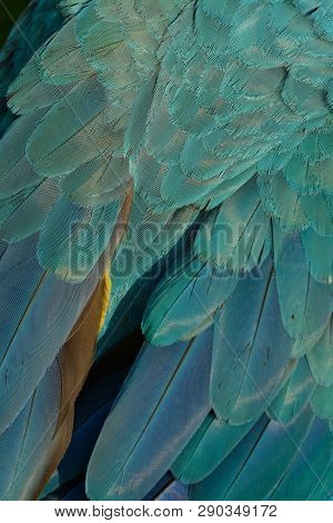 Beautiful Blue-and-yellow Macaw (ara Ararauna), Also Known As The Blue-and-gold Macaw  Back Feather