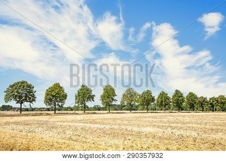 Green Trees On A Row In The Summer On A Dry Field With Golden Grass