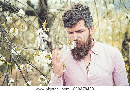 Bearded man near blooming cherry tree. Hipster sniffs cherry blossom. Man with beard and mustache on calm face near tender white flowers. Spring mood concept poster