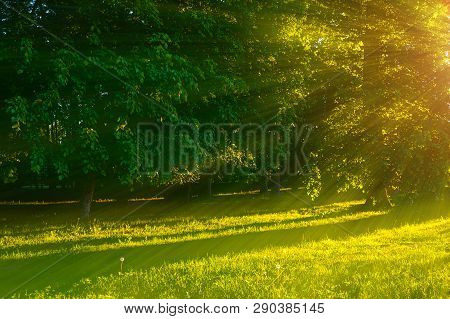 Forest summer landscape - forest trees with grass on the foreground and sunlight shining through the forest trees, summer sunset view