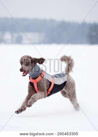 Standard Poodle Running And Enjoying The Snow On A Beautiful Winter Day. Playful Dog In Action On A