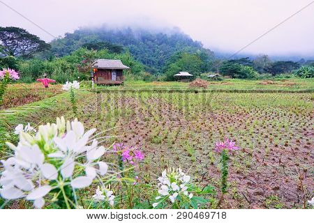 Cornfield With Blockhouse And Fog In The Morning At Thailand, Space For Text In Template, Travel And
