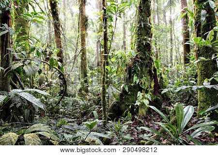 Tropical Amazon rain forest in Colombia. Lush reen jungle vegetation with giant trees vines fern and moss