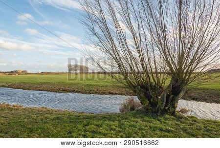 Old Decayed Willow Tree With Leafless Branches On The Edge Of A Stream In A Dutch Polder Near The Vi