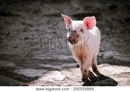 The Dirty Cute Little Pig Is Standing Alone On Gray Shadow Background.