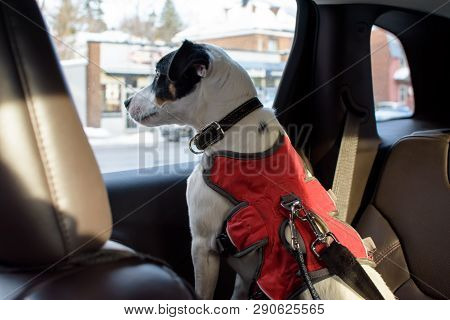 Dog Looking Out Window Of Car Inside, Pet Safety And Cute Dog In Car On Road Trip Wearing Seat Belt