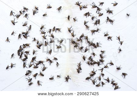 Fly Glue Trap. Dead Flies Trapped On A Glue Trap.flock Of Flies And Glue Traps Flies, Dirt And Germs