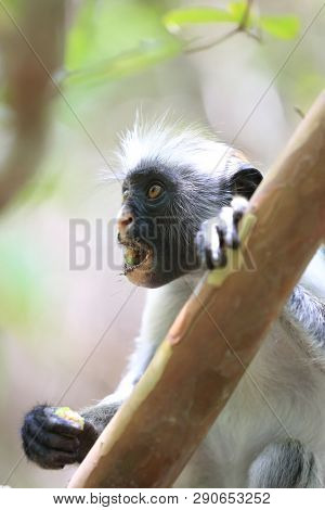 Portrait of red colobus mounkey on Zanzibar