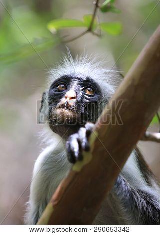 Young Red colobus monkey in jungle, zanzibar