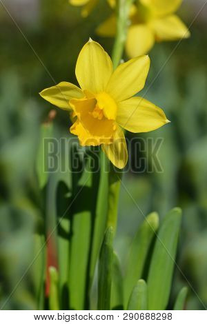 Daffodil Tete A Tete - Latin Name - Narcissus Cyclamineus Tete A Tete