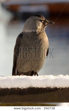 Winter Bird In Harbour