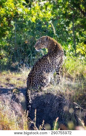 Beautiful adult leopard, Panthera pardus, in sunlit undergrowth. Marsai Mara, Kenya.