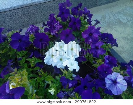 Blue, Ultramarine And White Petunias Growing In The Middle Of The City