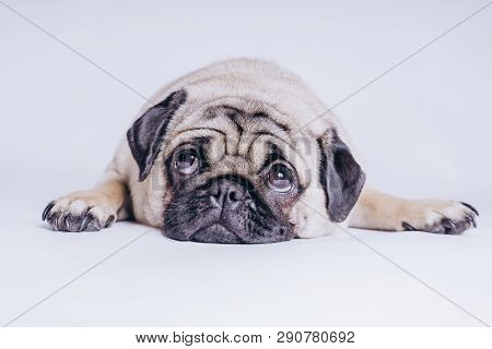 Funny Pug Puppy On White Background. Portrait Of A Cute Pug Dog With Big Sad Eyes And A Questioning