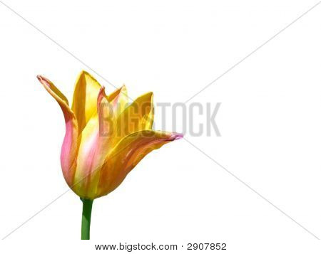 Tulip Against White