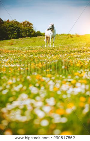 Charming view of floral pasture with Arabian horse in the sunlight. Location Carpathian mountain, Ukraine, Europe. Scenic image of farmland. Great picture of wild area. Discover the beauty of earth.