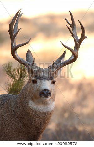 Trophy Mule Deer Buck