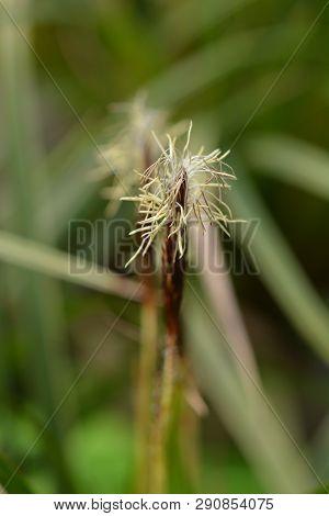Japanese Sedge Variegata - Latin Name - Carex Morrowii Variegata