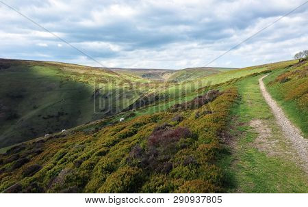 Sheep Grazing In The Mountainous Long Mynd Area Of Shropshire, England On A Cloudy Day.