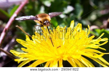 A Dark-edged Bee Fly (bomylius Major) Feeds From A Dandelion Flower At Wem Moss In Shropshire, Engla