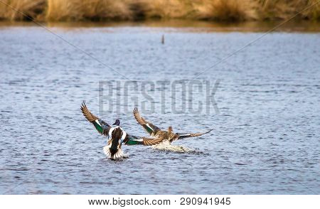 A Male And Female Northern Shoveler (anas Clypeata) Land In A Pond At Whixall Moss In Shropshire, En