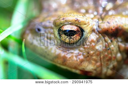 Common Toad (bufo Bufo) Up Close At Whixall Moss In Shropshire, England.