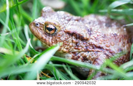 Common Toad (bufo Bufo) Hides In Tall Grass At Whixall Moss In Shropshire, England.