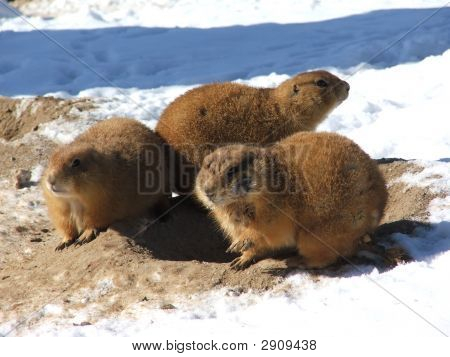 Prairie Dogs In Snow