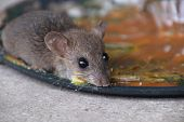 rats in glue stick on the mousetrap.Dangerous disease plague , rabies and hydrophobia from rats concept. poster