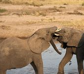 Two baby elephants standing in water and play fighting, with ivory tusks locked and showing pink gums. Tarangire National Park, Tanzania, Africa poster