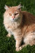 Beautiful yellow cat with orange eyes on the lawn poster