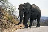 Large male elephant (Loxodonta africana) with ivory tusks in tack, walking on tar road in Kruger National Park, South Africa poster