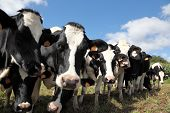 A row of curious balck and white Holstein dairy cows looking at the camera with focus to the head of the second cow poster