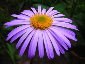 Lilaceous Daisy
