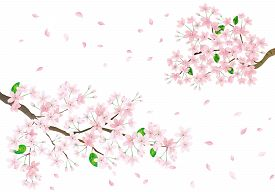 Pink Sakura Flower And Flying Petals. Cherry Blossom Isolated On White Background.