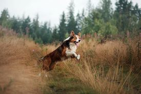 Border Collie In The Field Outdoors. Happy Pet For A Walk Playing. Healthy Dog