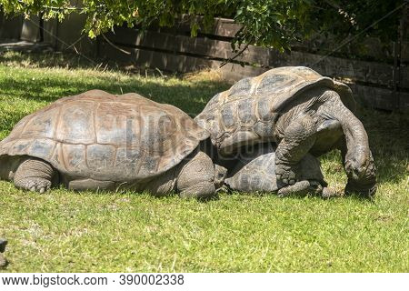 The Galápagos Tortoise Complex Or Galápagos Giant Tortoise Complex (chelonoidis  And Related Species