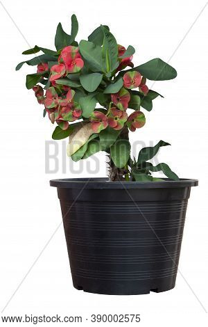 Red And Green Euphorbia Milli Or Crown Of Thorns Flower Bloom In Black Plastic Pot Isolated On White