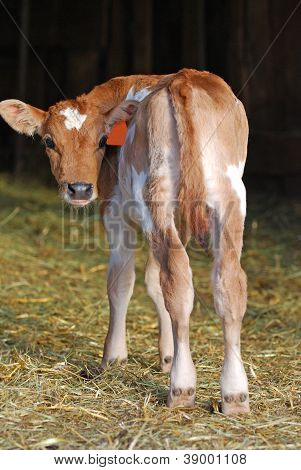 Jersey Calf Looking Back